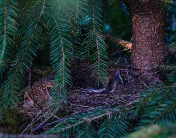 Black Bird Nestlings