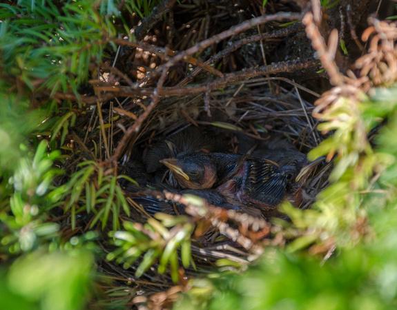 Whitethroat nestlings