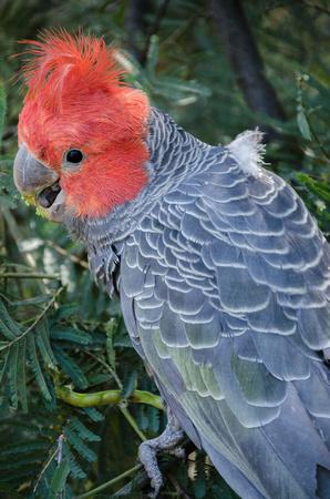 Gang-Gang Cockatoo (Callocephalon fimbriatum)